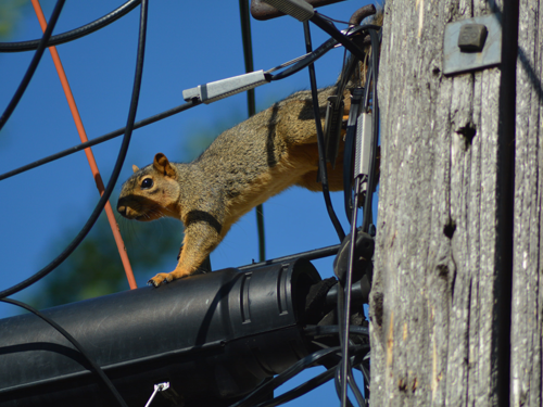 Squirrel on a powerline